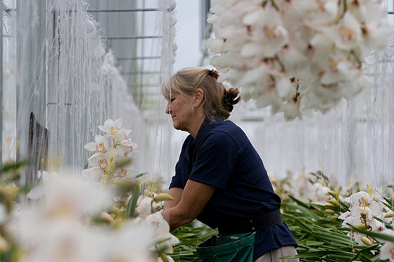 working-at-Joshua-Cymbidium-Orchids-greenhouse