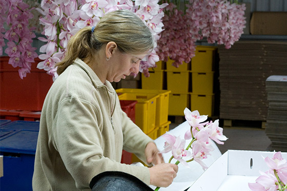 working-at-Joshua-Cymbidium-Orchids